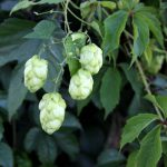 Free picture (Hop plant) from https://torange.biz/hop-plant-21841